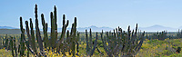 Panoramic of Cactus in Baja Mexico