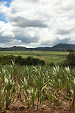 MAURITIUS, a rural landscape showing miles of sugarcane fields