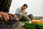 Snowy Plover (Charadrius nivosus) biologists, Karine Tokatlian and Ben Pearl, banding chicks, Eden Landing Ecological Reserve, Union City, Bay Area, California