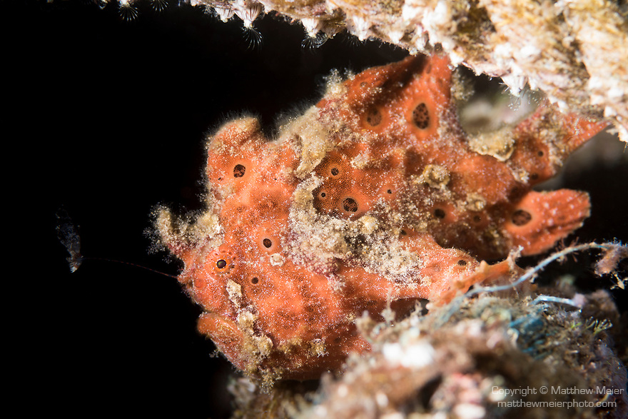 Dumaguete, Dauin, Negros Oriental, Philippines; a small red colored, juvenile painted frogfish hiding amongst marine debris on the sandy bottom, uses it's angler lure to tempt it's prey close enough to become a meal