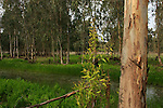 Israel, Sharon region, Eucalyptus trees in Park Hasharon Nature Reserve