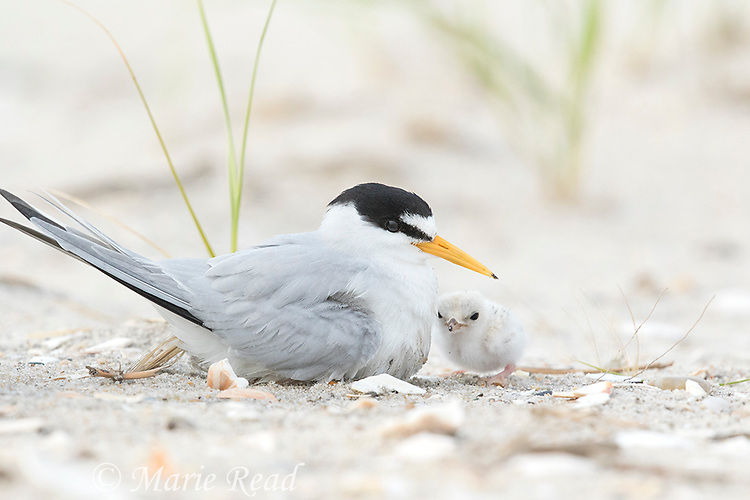 Least Tern (Sterna antillarum) adult with chick approaching to be brooded, Nickerson Beach, Long Island, New York, USA