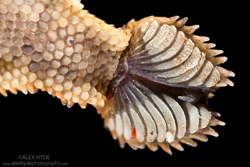 Close-up of the underside of a Leaf-tailed gecko's foot {Uroplatus sikorae} as it walks on vertical glass. The finely divided setae on the toe pads stick the gecko to the smooth surface through van der Waals interactions.  Masoala Peninsula National Park, north east Madagascar.