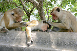 Toque Macaques Grooming