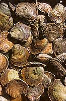 """Europe/France/Bretagne/29/Finistère/Riec-sur-Belon: huitres plates de Belon """"huitres Cadoret"""""""