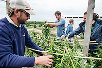 From left, Penn Mattison (cq), Jordan Stanley (cq), Colin Sparks (cq), and Cory Bundukamara (cq) harvest industrial grade hemp at the Stanley Brother's farm of Charlotte's Web near Wray, Colorado, Monday, September 22, 2014. The Stanley Brothers have developed a popular strain of marijuana that has been found to be helpful in reducing seizures. The marijuana high in CBDs and low in THC, the chemical which gets a person stoned.<br /> <br /> Photo by Matt Nager