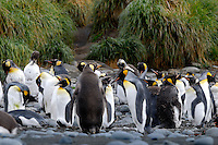 Line of kids, class isn't over yet! - King penguins Macquarie Island