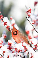 01530-194.12 Northern Cardinal (Cardinalis cardinalis) male on Common Winterberry (Ilex verticillata) in winter, Marion Co.  IL