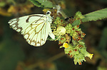 Crab spider feeding on white butterfly, Gambia, Family Thomisidae
