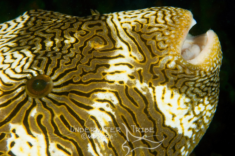 Map Puffer portrait, Arothron mappa, Yap, Federated States of Micronesia, Pacific Ocean