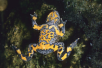 Gelbbauchunke, Gelbbauch-Unke, Bergunke, Unke, Unken, Bombina variegata, yellow-bellied toad, yellowbelly toad, variegated fire-toad
