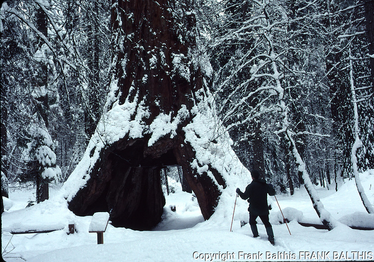 Calaveras Big Trees State Park North Grove in winter
