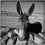 July 1996 -- Mykonos, Greek Islands -- A donkey on the road to Mykonos'  town center,  behind a rockwall. Also known as a Jackass..Andrew Kaufman©1996