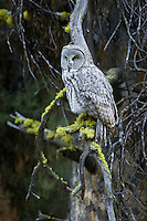 Great Gray Owl in Yellowstone National Park