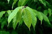 Manaus, Brazil. Medicinal plant, Capim Santo (Capim Marinho, Capim de Cheiro, Capim Limao) (Andropogon nardus).  Source of citronella. Diuretic.