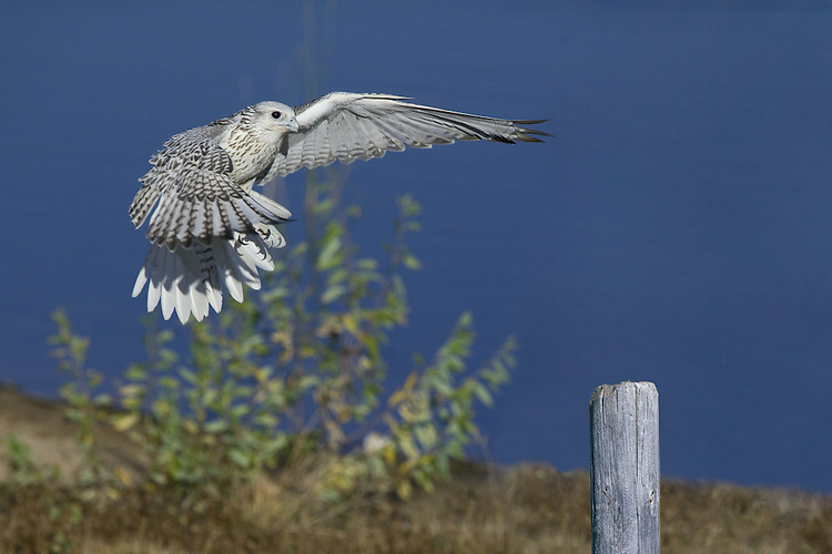 Gyr Falcon preparing to land - C1