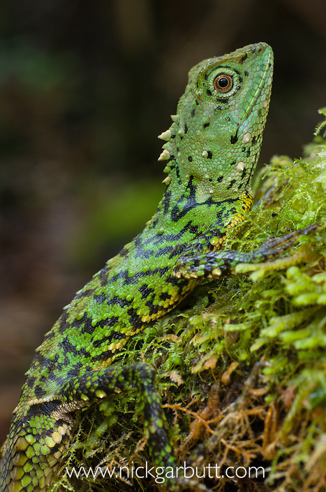 Green Mountain Agama (Phoxophrys cephalum). Montane forest, Mt Kinabalu, Sabah, Borneo.