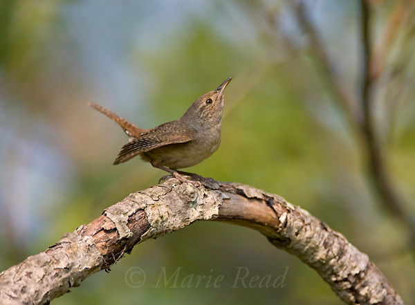House Wren (Troglodytes aedon) adult, Ithaca, New York, USA