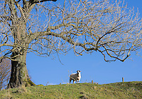 Tree and Lonk ewe, Dinkling Green, Whitewell, Clitheroe, Lancashire.