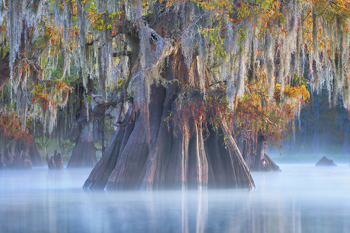 An ornamental spectrum of changing fall color decorates this large cypress in the swamps of southern Louisiana.