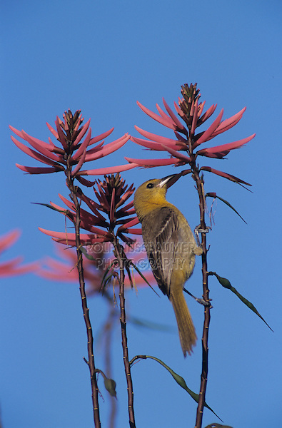 Hooded Oriole, Icterus cucullatus, female feeding on Coral Bean Blossom(Erythrina herbacea), The Inn at Chachalaca Bend, Cameron County, Rio Grande Valley, Texas, USA