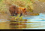 Alaskan Coastal Brown Bear Cub Looking for Fish, Silver Salmon Creek, Lake Clark National Park, Alaska