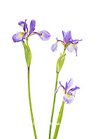 30099-00412 Blue Flag Irises (Iris versicolor) (high key white background) Marion Co. IL
