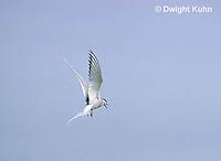 MC59-070z  Arctic Tern - flying above island - Machias Seal Island, Bay of Fundy - Sterna paradisaea