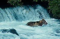 609682250 a wild alaskan brown bear ursus arctos dives for salmon below brooks falls on the river near brooks lodge in katmai national park alaska