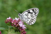 Marbled White Melanargia galathea Wingspan 50mm. Unmistakable meadow butterfly with a rather sluggish flight; feeds on the flowers of knapweeds and thistles. Adult has distinctive black and white patterns on upperwings; pattern is repeated on underwing although markings are subdued and there is an overall yellowish suffusion. Flies July–August. Larva feeds on grasses; strictly nocturnal. Locally common in southeast and central-southern England. Favours undisturbed meadows and downs, often on chalk but also on neutral soils.