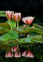 Water Lily - (Colorado). Hughes Water Gardens. Oregon