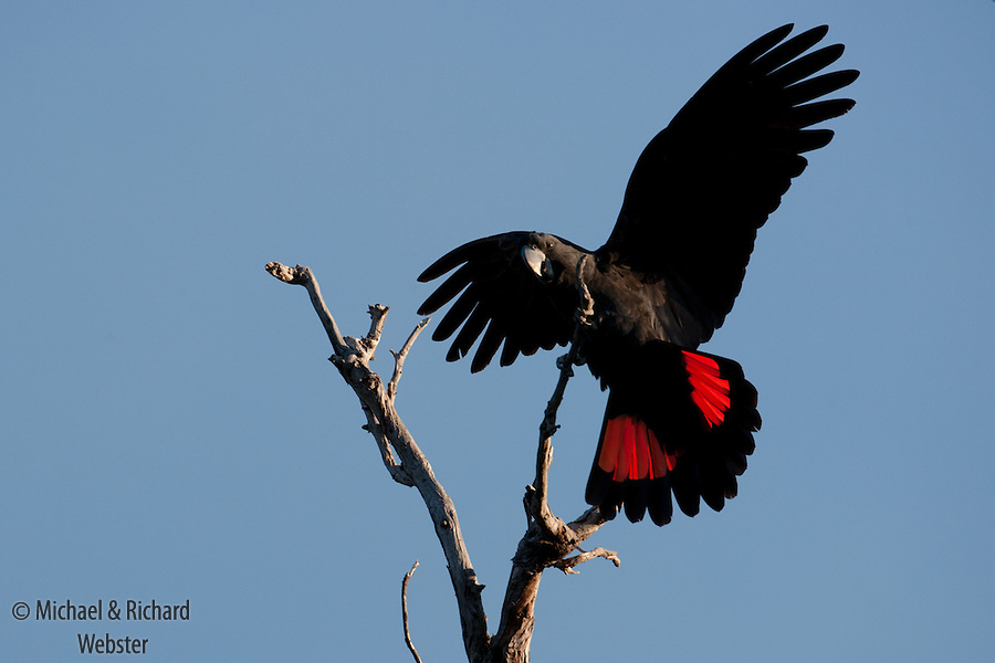 Red-tailed Black Cockatoo (Calyptorhynchus banksii) Female alighting on dead branch. Perth, Western Australia. Springtime.