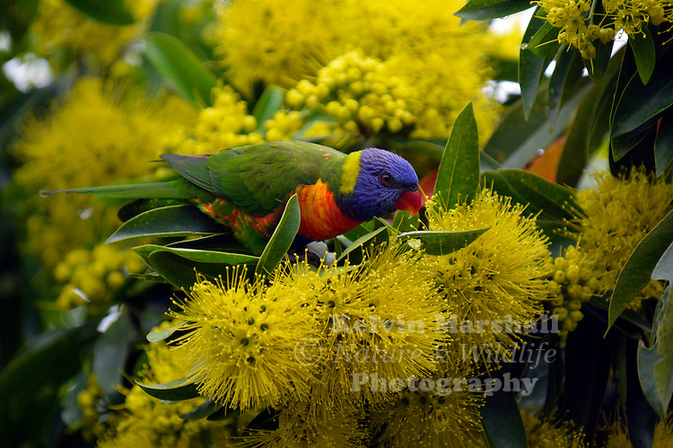 The Rainbow Lorikeet (Trichoglossus haematodus) is a species of Australasian parrot found in Australia, eastern Indonesia (Maluku and Western New Guinea), Papua New Guinea, New Caledonia, Solomon Islands and Vanuatu. In Australia, it is common along the eastern seaboard, from Queensland to South Australia and northwest Tasmania. Its habitat is rainforest, coastal bush and woodland areas. This bird was feeding on the nectar of a flowering Golden Penda.