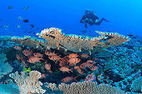 scuba diver and big-scale soldierfish, French Frigate Shoals, Papahanaumokuakea Marine National Monument, Northwestern Hawaiian Islands, Hawaii, USA, Pacific Ocean