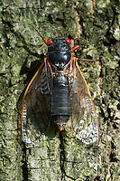 CICADA BROOD II<br />