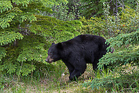 Black Bear (Ursus americanus) walking through northern forest.  Spring.