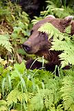 USA, Alaska, grizzly bear amid green ferns, Redoubt Bay