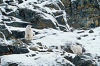 Mg446  Mountain Goat. Canadian Rockies. Winter.