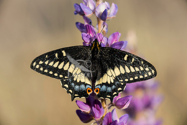 Indra Swallowtail, Short-tailed Black Swallowtail, or Cliff Swallowtail (Papilio indra).  Oregon.  April