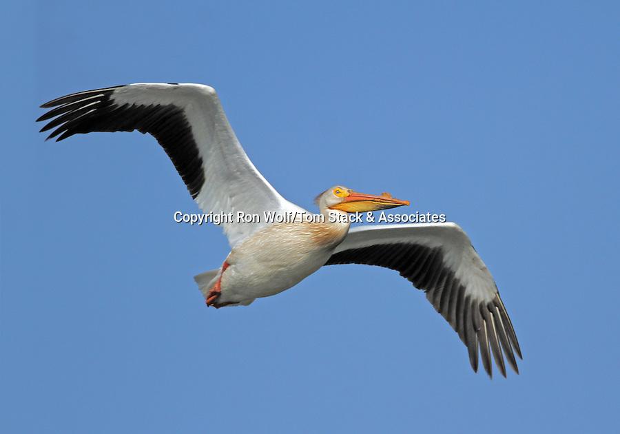 American White Pelican (Pelecanus erythrorhynchos). Radio Road ponds. Redwood City, San Mateo Co., Calif.