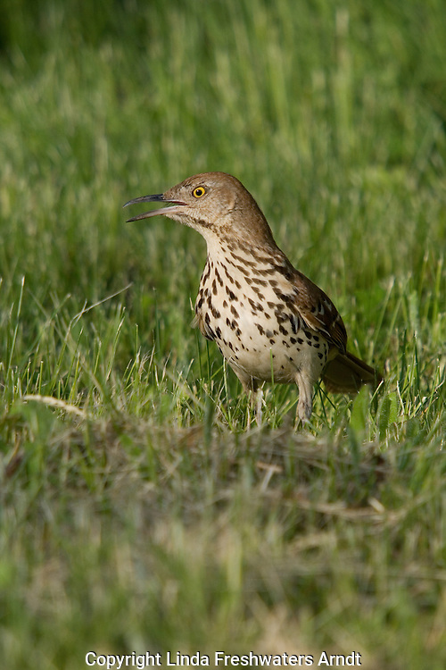Brown thrasher (Toxostoma rufum) looking for insects on a hot summer day