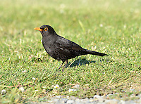 Blackbird Turdus merula - Male. L 25-28cm. Familiar ground-dwelling bird. Sexes are dissimilar. Adult male has uniformly blackish plumage. Legs are dark but bill and eyering are yellow. 1st winter male is similar but bill is dark and eyering is dull. Adult and 1st winter female are brown, darkest on wings and tail, and palest on throat and streaked breast. Juvenile is similar to adult female but marked with pale spots. Voice Utters harsh and repeated tchak alarm call, often at dusk. Male has rich, fluty and varied song. Status Common and widespread in gardens, but in woodland, farmland and coasts. Upland birds move to lower levels in winter and migrants arrive from Europe.