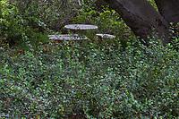 Ribes viburnifolium, Catalina Perfume, evergreen currant, fragrant foliage groundcover in shade under Oak, Tree of Life Nursery