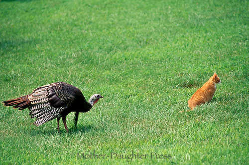 Wild turkey, Meleagris gallapavo, sneaking up on tiger cat sitting in grass of rural yard, is noticed by the cat, Missouri, USA