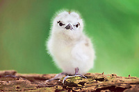 white tern, Gygis alba, chick, Midway Atoll, Papahanaumokuakea Marine National Monumen, Northwestern Hawaiian Islands, or Leeward Islands, Hawaii, USA