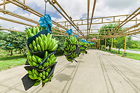 Banana transferred on an overhead rack on a plantation near Limon, Costa Rica, Central America.
