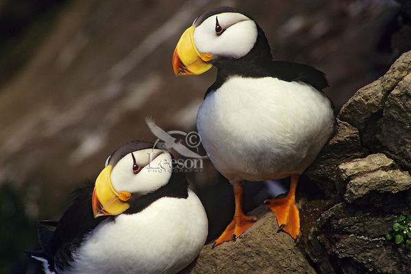 Horned puffins (Fratercula corniculata) North Pacific