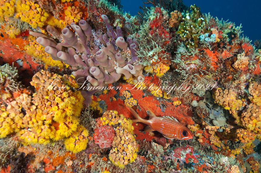 Squirrelfish on a colorful reef at Congo Cay<br />