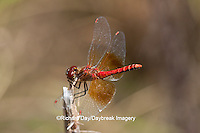 06664-001.17 Band-winged Meadowhawk (Sympetrum semicinctum) male perched near wetland, DuPage Co., IL