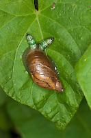 Bernstein-Schnecke, Bernsteinschnecke, Succinea putris, verdickte Fühler zeigt Befall durch Saugwurm Leucochloridium paradoxum an, parasitiert, Parasit, Parasitismus, rotten amber snail, large amber snail, European ambersnail, green-banded broodsac